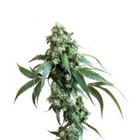 Jack Flash de Sensi Seeds