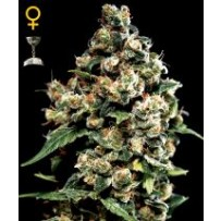 Jack Herer Green house seeds