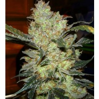 Kings Kush GreenHouse Seeds