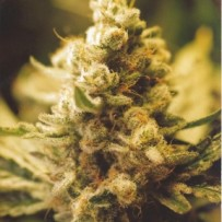 Lemon Kush Female Seeds