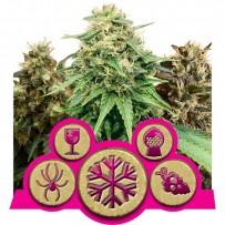 Mélange de graines de cannabis féminisées