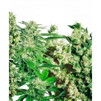 Mix graines de cannabis feminisees