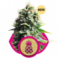 Pineapple Kush de Royal Queen Seeds