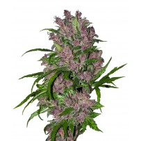 Purple Bud Automatique