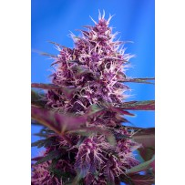 Red Poison de Sweet Seeds