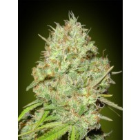 Shark Widow Advanced seeds