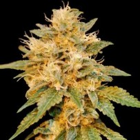 Snowland DNA genetics