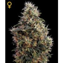 Sweet Mango Auto Green house seeds