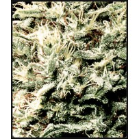White Rhino Green house seeds