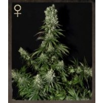 White Strawberry Skunk Green house seeds