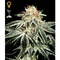 White Widow Green house seeds