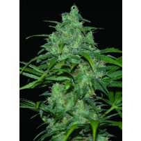 Wild thailand de World of seeds