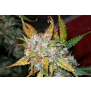 Graines de Auto Blueberry en gros