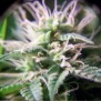 Purple Maroc Female Seeds