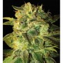 Sugar Mango Ryder de World of Seeds