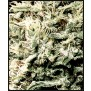 White Rhino Green house seeds