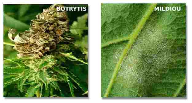 Champignons Cannabis