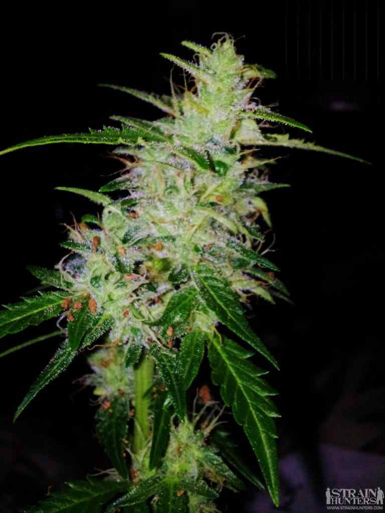 Sweet mango auto green house seeds for Autosweet housse