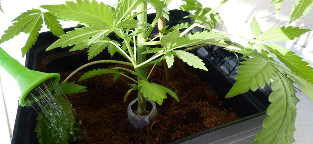 Arrosage du Cannabis