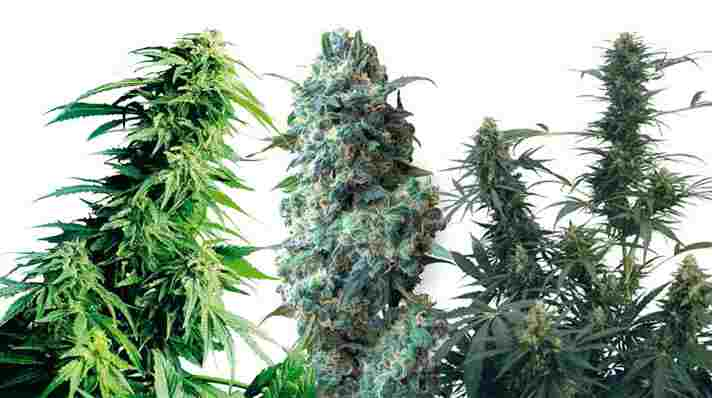Cannabis floraison exterieur 28 images culture de for Culture cannabis en pot exterieur