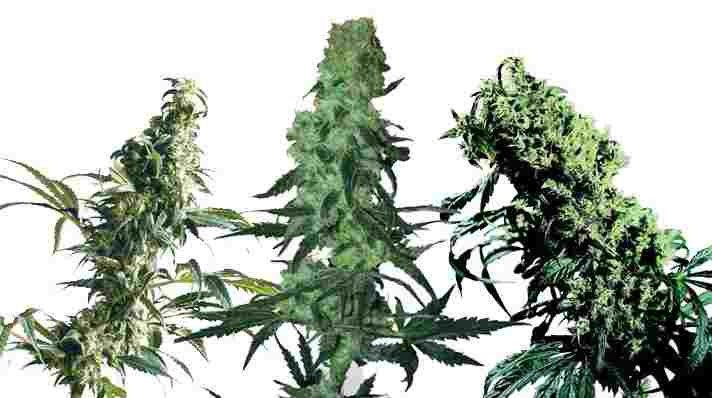 Cannabis floraison exterieur 28 images culture de for Cannabis floraison exterieur