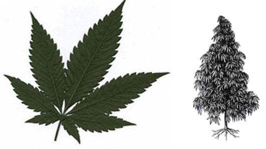 Le cannabis indica interieur exterieur floraison thc for Floraison cannabis interieur
