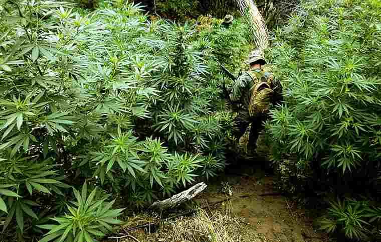 Cannabis Landrace