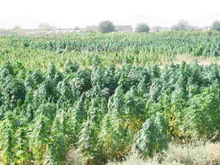 Graines de Cannabis Landrace