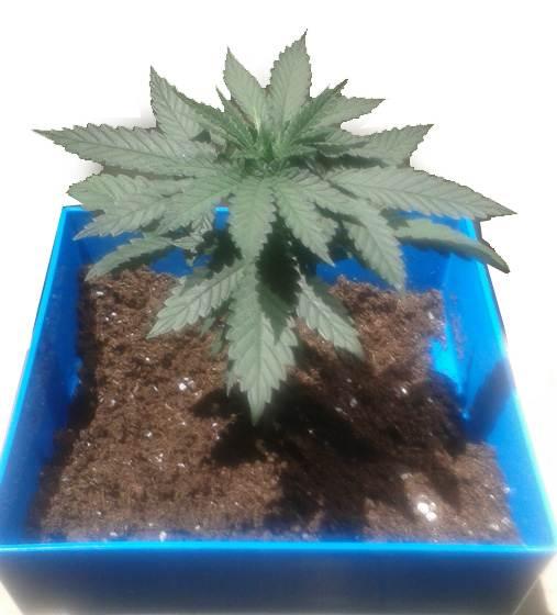 Croissance du cannabis for Croissance cannabis interieur