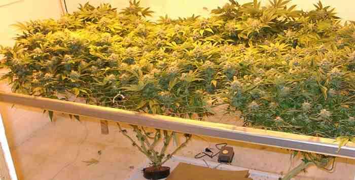 Culture hydroponique du cannabis for Culture cannabis interieur hydroponique
