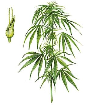 Graines de cannabis feminisées