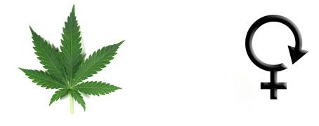 Graines de cannabis Autofloraison