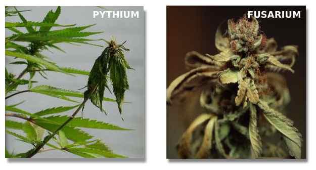 Champignons avec le Cannabis