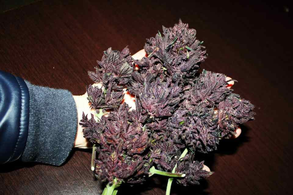 Sensi seeds Autoflowering