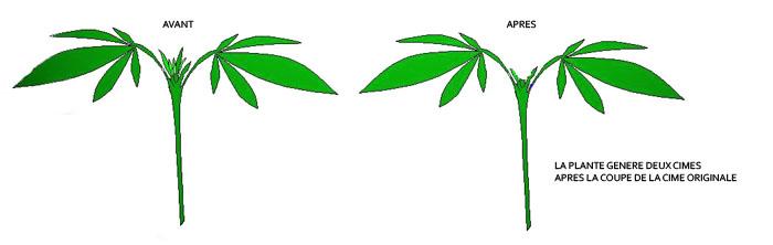 Tailler vos plants de Cannabis